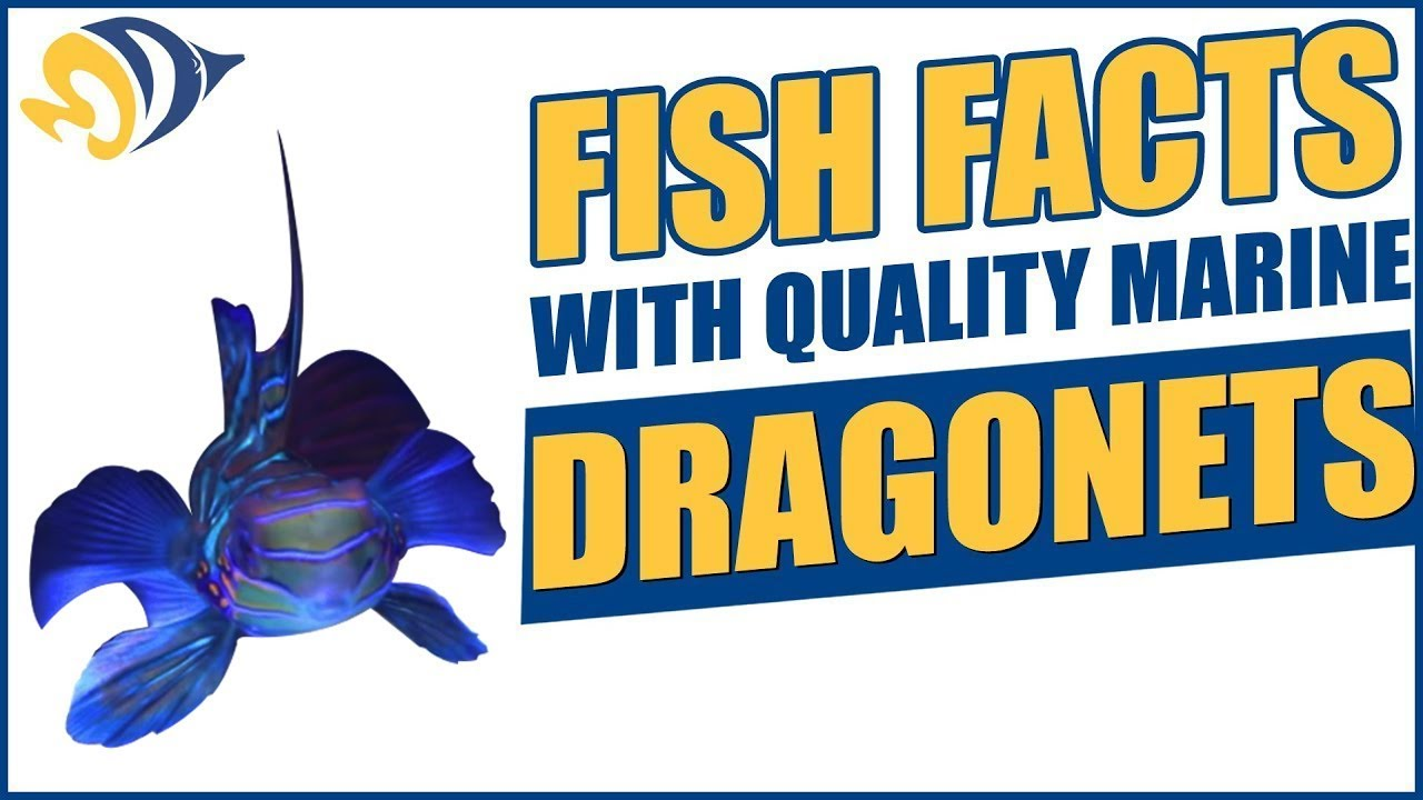 Fish Facts with Quality Marine, Episode 2 - Dragonets Thumbnail