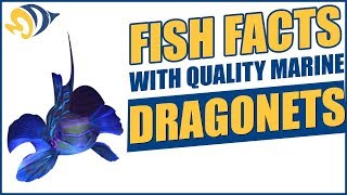 Fish Facts with Quality Marine, Episode 2 - Dragonets