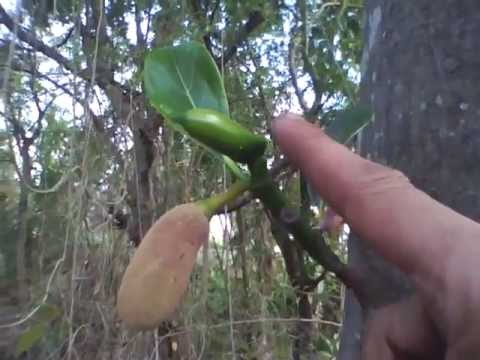 Jackfruit Most Amazing And Useful Tree Youtube
