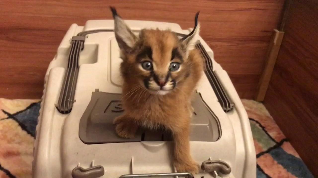 kittens soc