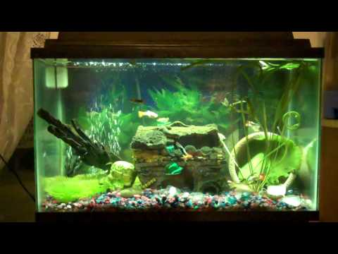10 gallon community tank, Guppies, Pleco, and Ghost Shrimp