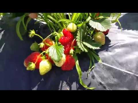 Урожайный сорт Роксана! Посадка фриго май 2019.