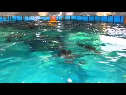 Cobia Aquaculture Feeding At University Of Miami RSMAS