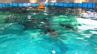 Cobia aquaculture feeding at University of Miami RSMAS