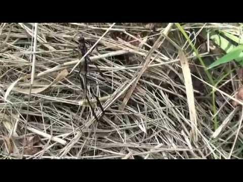Female Pelecinid Wasp
