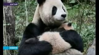 Двох панд, які жили у неволі, невдовзі випустять