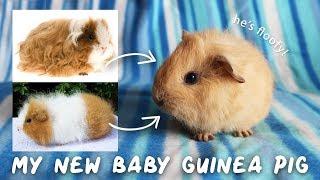 MY NEW FUZZY POTATO! Swiss x Texel Baby Guinea Pig 💖