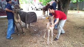 Repeat youtube video Thai pony semen collection