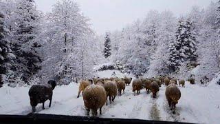 Karlı Havada Yayla Gezisi - Trabzon Akçaabat Balıklı Yaylası (Koryana)