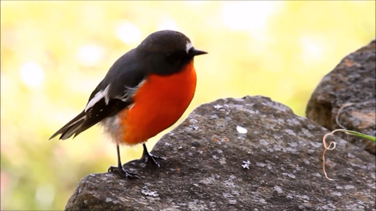 Flame Robin bird call song and eating - YouTube