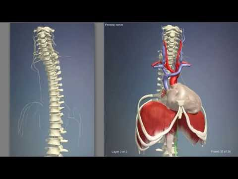 Anatomy Diaphragm Muscle | 3D Human Anatomy | Organs - YouTube
