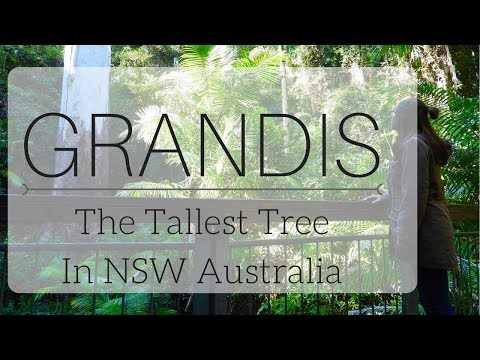 'Grandis' The Tallest Tree In NSW Australia - Myall Lakes National Park