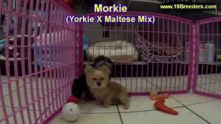 Morkie, Puppies, For, Sale, In, Des Moines, Iowa, Ia, Bettendorf, Marion, Cedar Falls, Urbandale, An