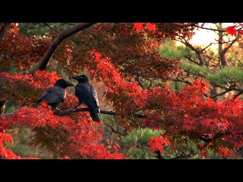 Tokyo's Crows: Finding Poetry in the City's Biggest Nuisance (LinkAsia: 1/3/14)