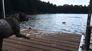 German Shorthaired Pointer Dock Jumping