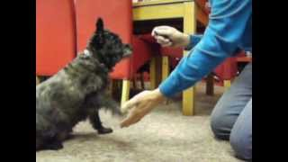 Toby Cairn Terrier Doing His Tricks