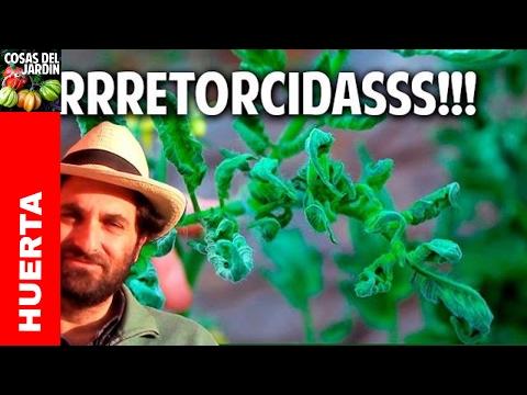 Por que se retuercen las hojas de las tomateras? - 1