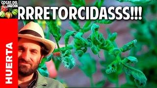 Por que se retuercen las hojas de las tomateras? @cosasdeljardin