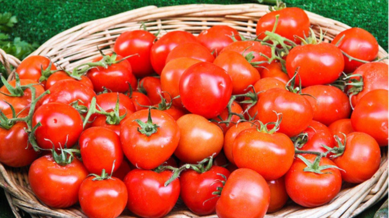 Resultado de imagem para tomate cultivo