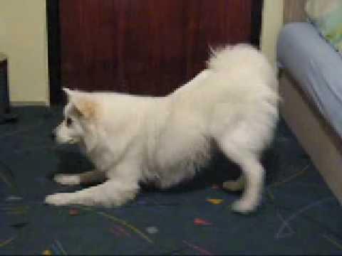 Dog tricks by Giant German spitz Don