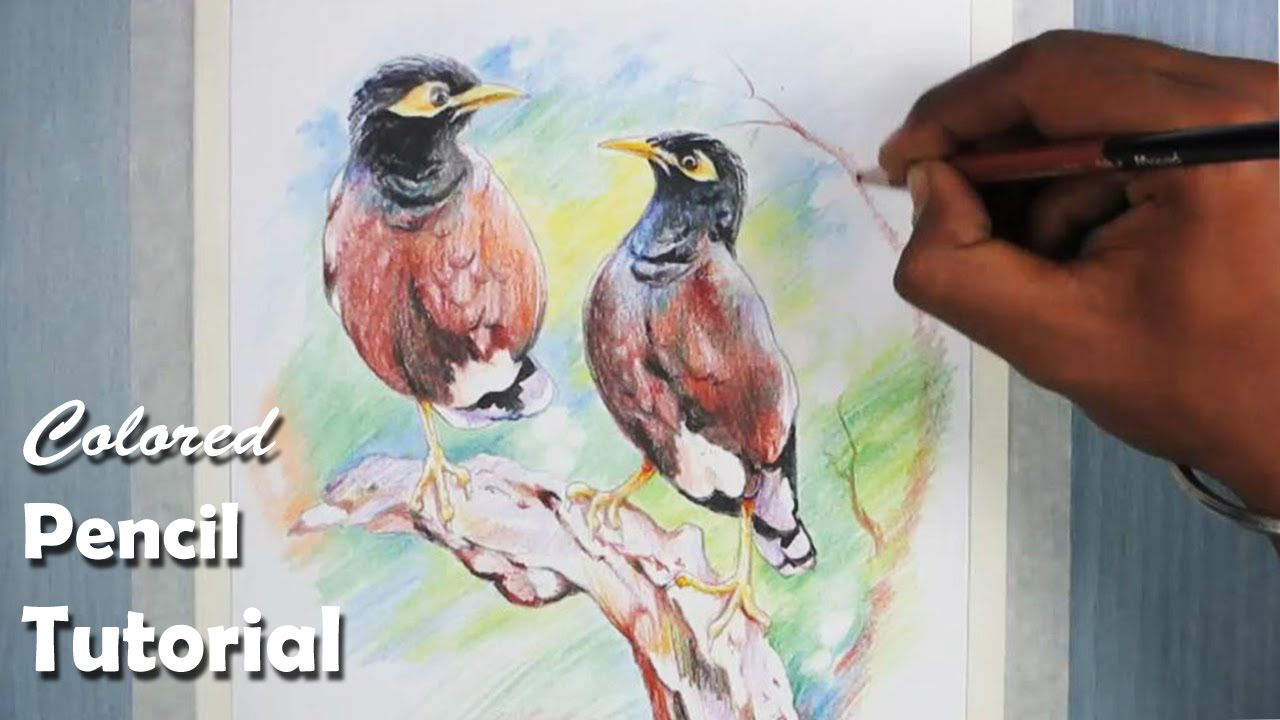 How to draw birds with colored pencil common myna indian myna