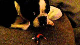 Boston Terrier In Trouble
