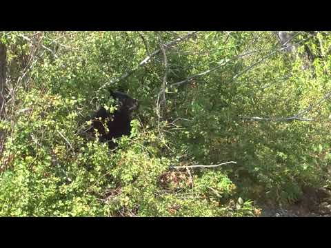 Bear Sighting in Waterton Lakes National Park, Alberta Sept 2017