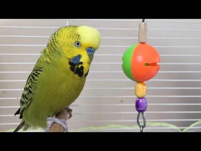 Konuşan Muhabbet Kuşu Fıstık Özel -2- dinlet konuşsun