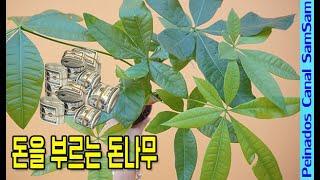 돈을 부르는 돈나무  - 돈을부르는 식물* 파키라 * …