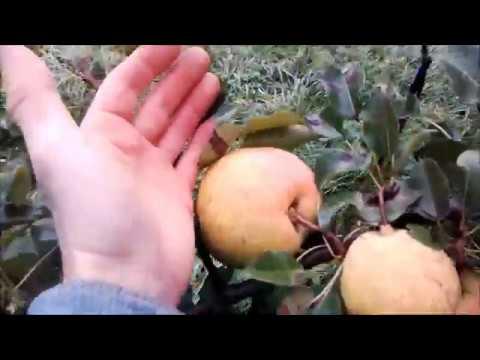 Яблоки и груши на одном дереве. Как растут.