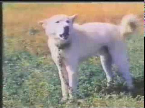 [풍산농장] 월간 조선 - 풍산개 / Pungsanfarm - POONGSAN DOG (풍산개)