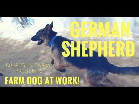German Shepherd - Farm Dog at work
