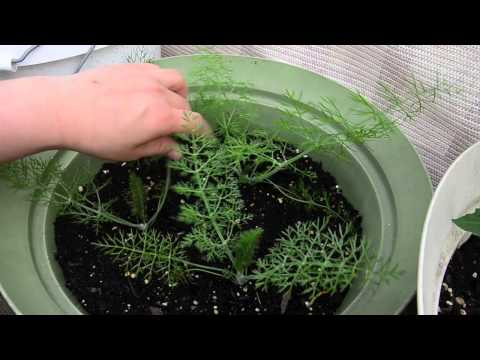 growing fennel in containers: Part 1