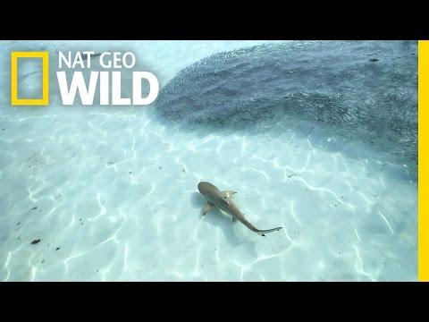 A Blacktip Feeding Frenzy | Blitzkrieg Sharks