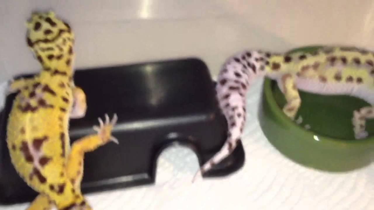 Halloween Mask Leopard Gecko.Halloween Mask R2 Bold Stripe Leopard Gecko