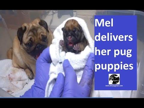 Mel Delivers Her Pug Puppies
