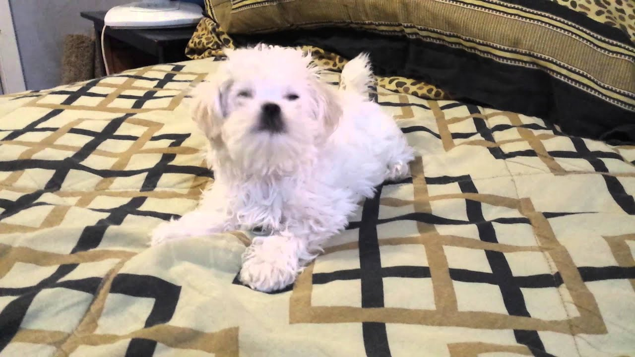 maltese barking 12 week old maltese puppy playing and barking youtube 3843