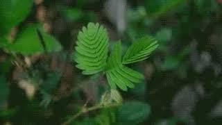 Растение ,которое закрывается при касании