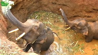 Poor and kind farmers saving a tusker elephant from a mud pit