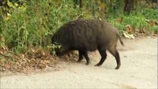 高松市堂山の麓に出没する猪.