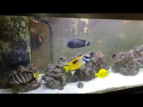 New Yellow Tang - Saltwater Aquarium Fish Add