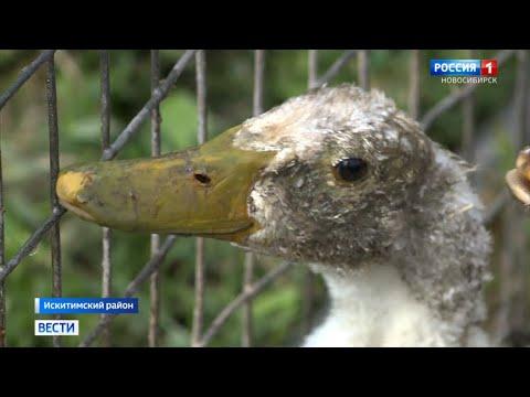Вопрос: Какая экзотическая птица подходит для свободного содержания (см. ниже)?