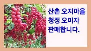 강원도 춘천 산골 오지마을 청정 오미자 판매합니다.