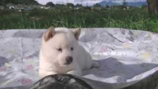 8月7日生まれの白柴の男の子です。 両親犬ともに各種展覧会において入賞...