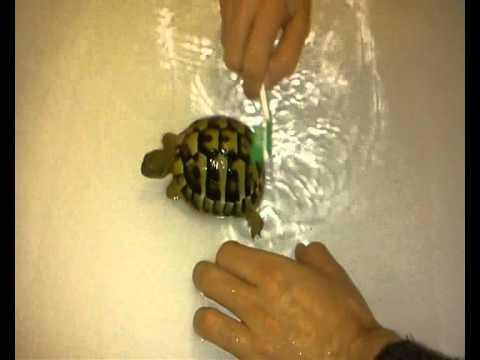 How to bath a tortoise!