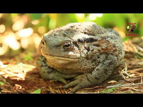 Кавказская жаба Клава