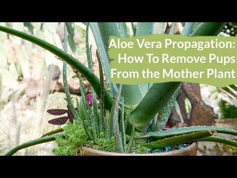 Aloe Vera Propagation: How To Remove Pups (or Babies) From the Mother Plant / Joy Us Garden