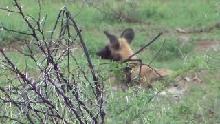 African Wild Dog (Painted Dog) sitting alone in the grass