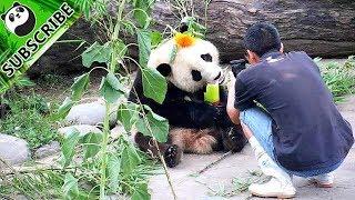 The most beautiful panda fairy