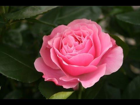 Beautiful rose good morning whattsapp video youtube - Good morning rose image ...